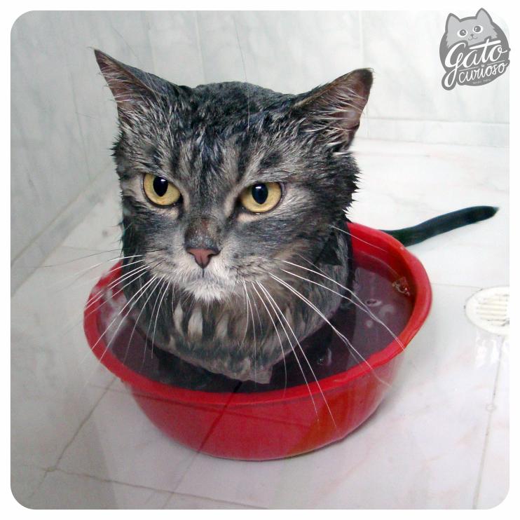 ¿Como bañar a tu Gato Curioso?