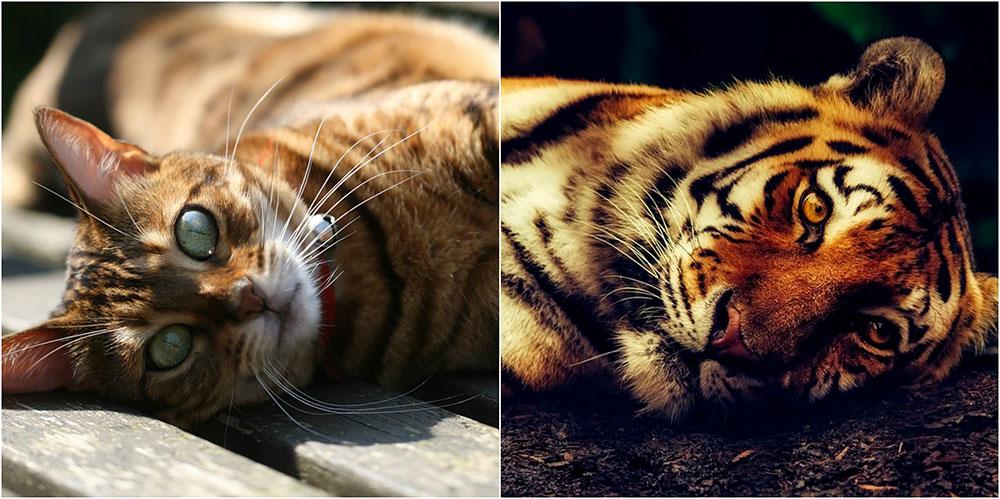 Gatos que parecen tigres