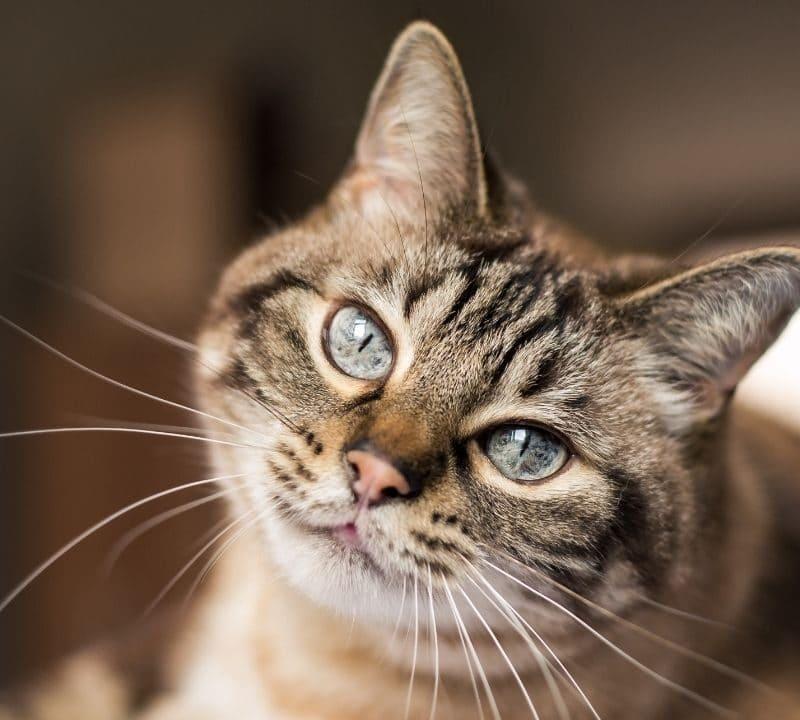 ¿Cuándo entran en celo los gatos?